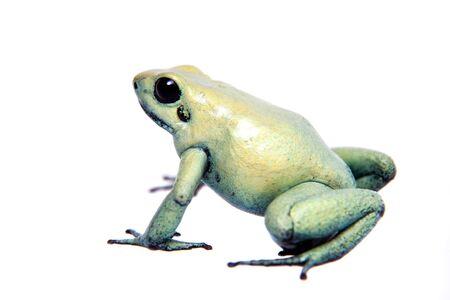 La rana velenosa dorata, Phyllobates terribilis Mint, isolata su sfondo bianco.
