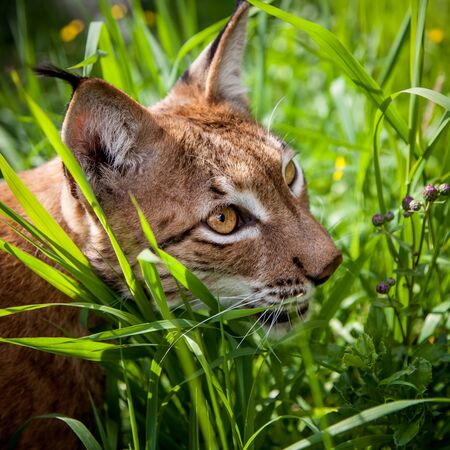Beautiful Eurasian lynx, lynx lynx, at summer field
