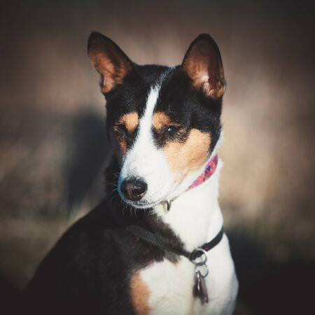 Basenji dog at outdoors Stock Photo