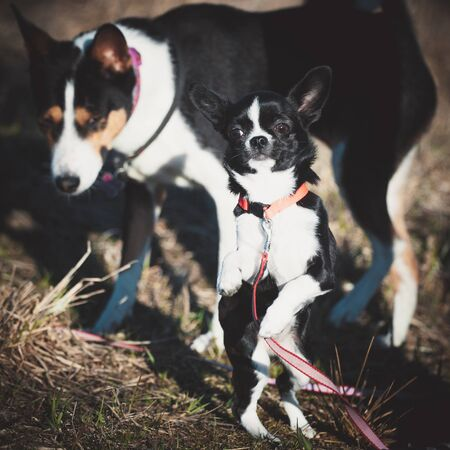Chihuahua, 5 months old, standing against a basenji dog