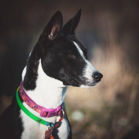 10 years old Basenji dog at the beautiful autumn park Stock Photo