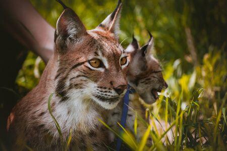 Beautiful Eurasian lynx with cub, lynx lynx, at summer field