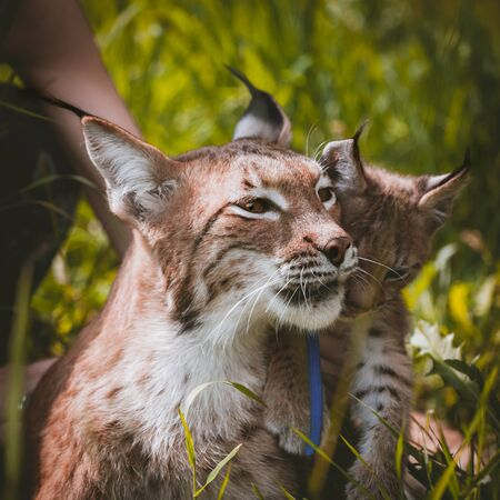 Beautiful Eurasian lynx with cub, lynx lynx, at summer field