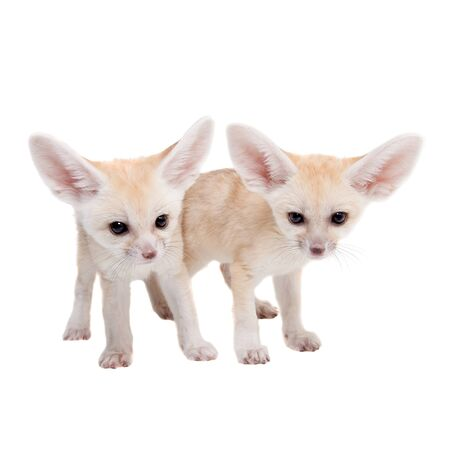 Fennec fox cubs on white background