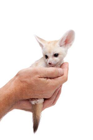 Fennec fox cub on white background