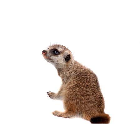El suricata o cachorro suricate, 1 mes de edad, en blanco Foto de archivo