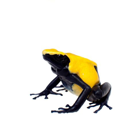 Citronella Blue Dyeing Poison Dart Frogling, Dendrobates tinctorius, on white background. Banque d'images