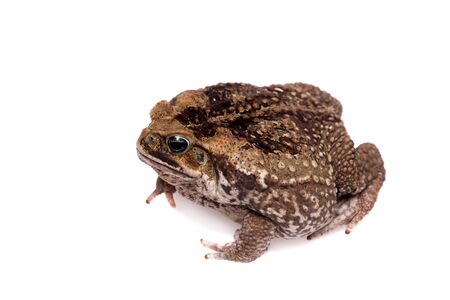 Rhinella marinus. Cane or giant neotropical toad on white background