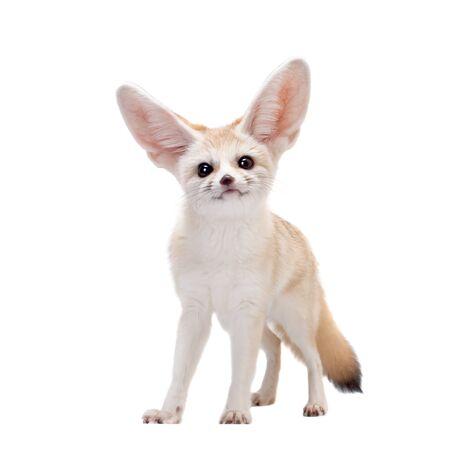 Pretty Fennec fox, Vulpes or Fennecus zerda cub on white background