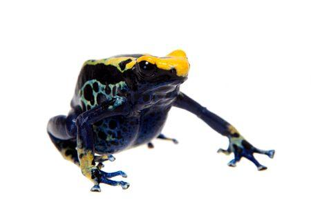 Robertus dyeing poison dart frog, Dendrobates tinctorius on white