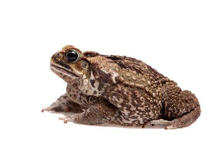 Rhinella marinus. Cane or giant neotropical toad on white background