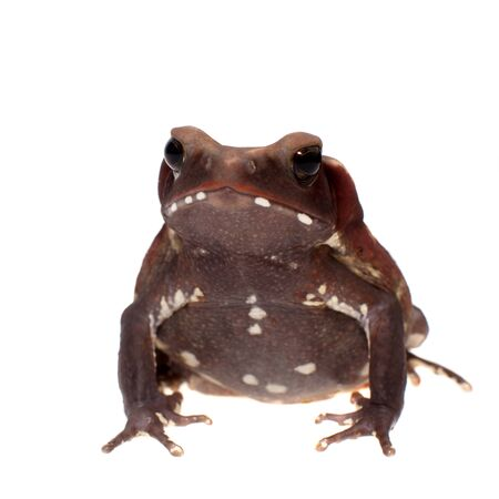 Amazing Smooth-sided toad isolated on white background Archivio Fotografico
