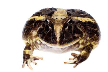 The Brazilian horned frog isolated on white Reklamní fotografie
