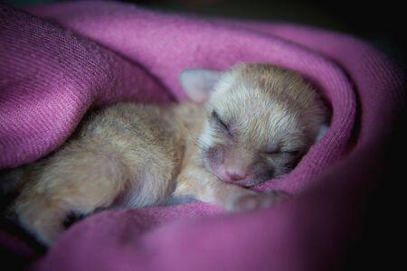 Newborn fennec fox cub on hand, 2 weeks old