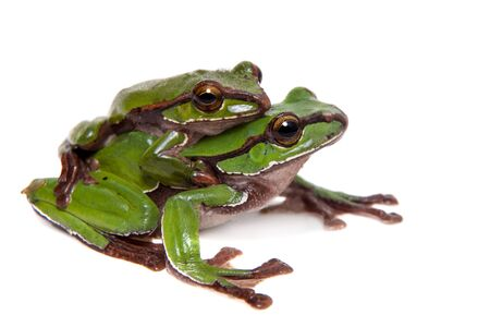 Big green whipping frog isolated on white