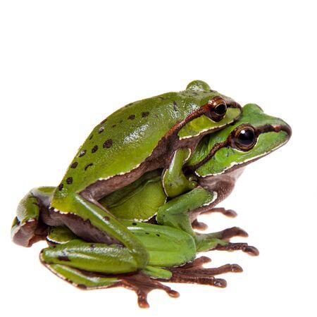Großer grüner peitschender Frosch isoliert auf weiß Standard-Bild
