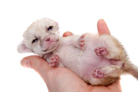 The fennec fox cub, 2 weeks old on white