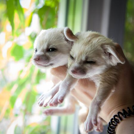 Two fennec foxes cub on human hands Stock fotó
