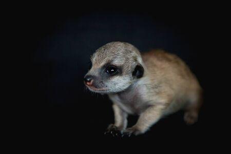 The meerkat or suricate cub, Suricata suricatta, isolated on black
