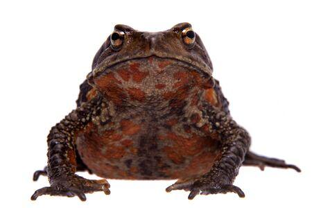 Amazing Vietnamese toad isolated on white background