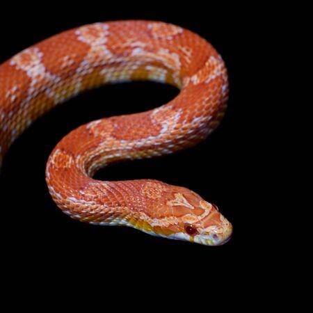 Pink corn Snake, Pantherophis guttatus, on black