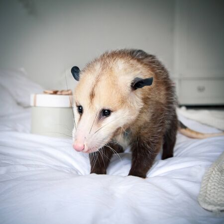 The Virginia or North American opossum, Didelphis virginiana, on bed