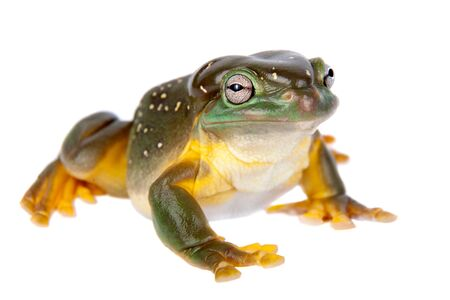 The magnificent tree frog, Ranoidea splendida, also known as the splendid tree frog on white background Standard-Bild