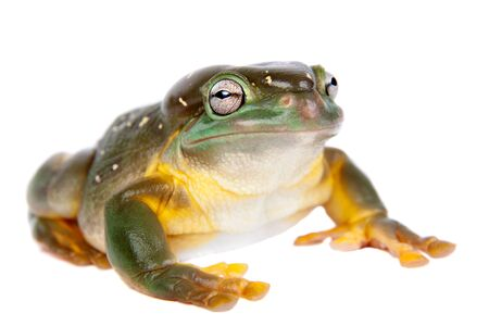 The magnificent tree frog, Ranoidea splendida, also known as the splendid tree frog on white background