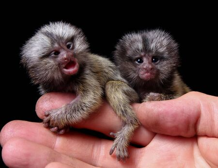 The new born common marmosets, Callithrix jacchus, 2 days old, isolated on black background Stock fotó