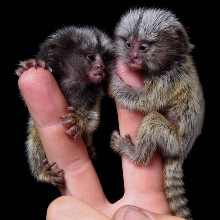 The new born common marmosets, Callithrix jacchus, 2 days old, isolated on black background