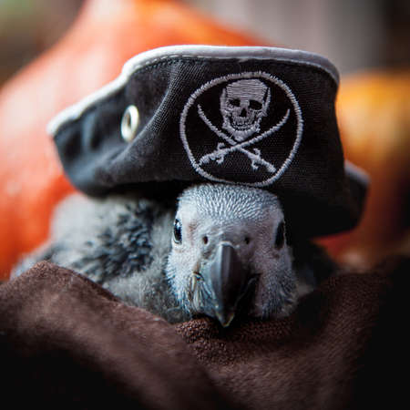 Happy Halloween. African Grey Parrot baby with a pirats hat and pumpkins