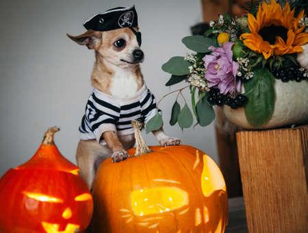 Pretty eyeless pirat chihuahua on Haloween costume party Foto de archivo