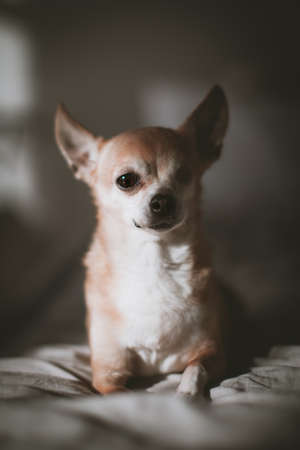 Eyeless Chihuahua dog, 12 years old on a bed
