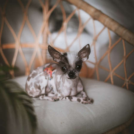 Peruvian hairless and chihuahua mix dog on a chair