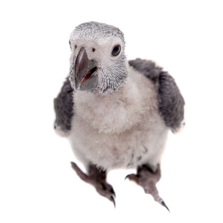 Timneh African Grey Parrot isolated on white