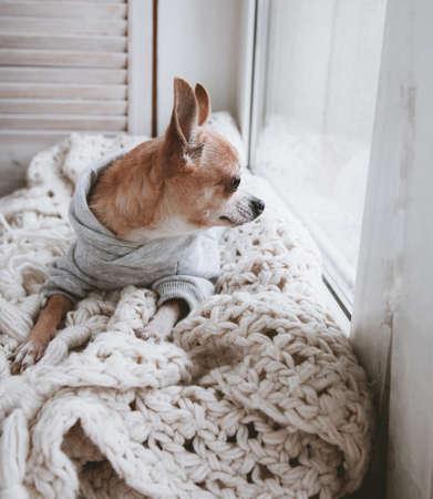 Pretty Eyeless Chihuahua dog, twelve years old