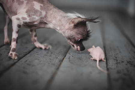 Peruvian hairless and chihuahua mix dog with hairless mouse