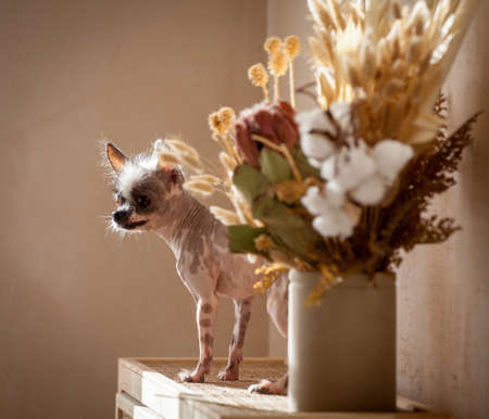 Peruvian hairless and chihuahua mix dog with flowers