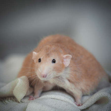 Very fat red rat at home on a table
