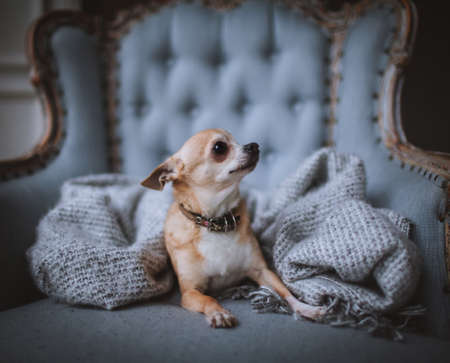 Eyeless Chihuahua dog, 12 years old on a chair
