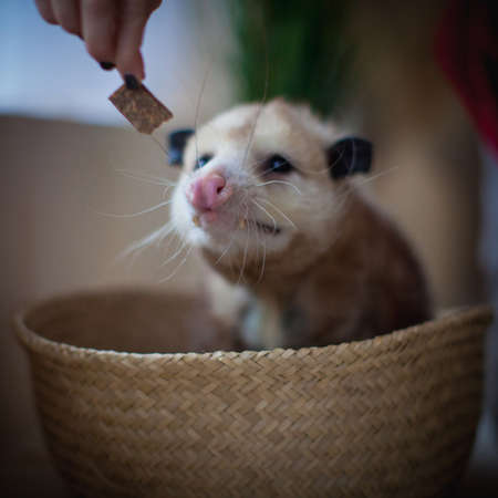 The Virginia opossum, Didelphis virginiana, in a basket