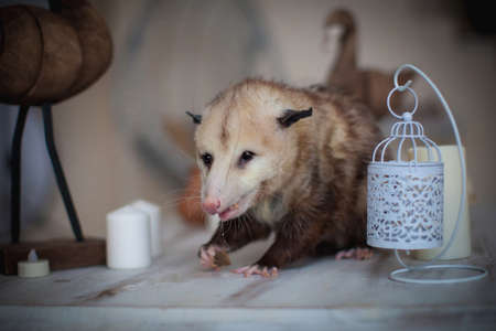 The Virginia opossum, Didelphis virginiana, on a table Stock Photo