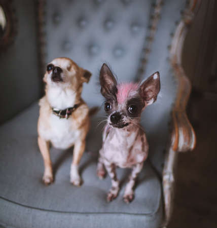 Hairless dog chihuahua dog and on a chair