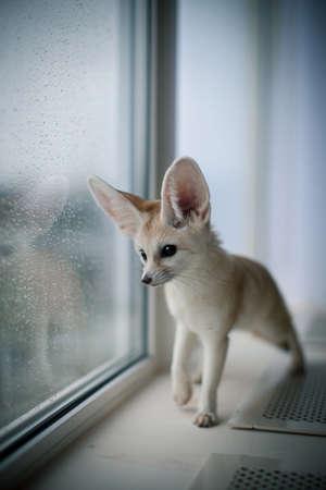 Pretty Fennec fox cub in front of window
