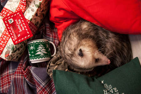 Pretty Virginia opossum in Christmass or New year decorations