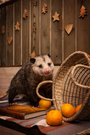 The Virginia opossum in decorated room with Christmass tree.
