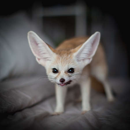 Fennec fox cub eats meat on a bed Stock Photo