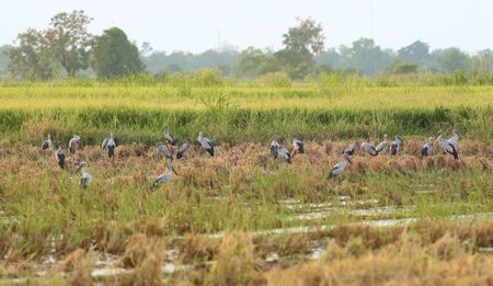 oscitans: Asian openbill in paddy at Thailand.