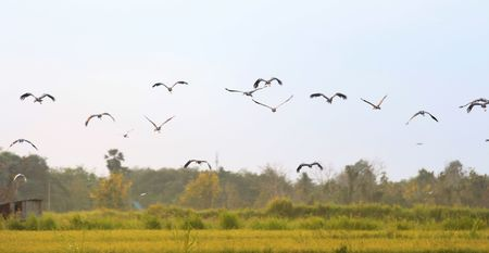 Asian openbill in paddy at Thailand.