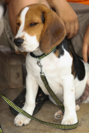 squint: A puppy, English Beagle, squint on me when I trying to take it out jogging